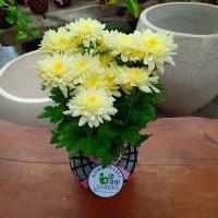 KOKEDAMA bunga krisan putih super jumbo TANAMAN HIAS DI DALAM RUANGAN