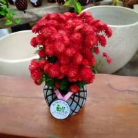 KOKEDAMA bunga krisan merah super jumbo TANAMAN HIAS DI DALAM RUANGAN