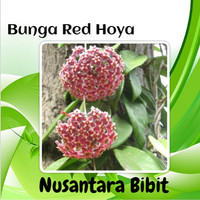 Bunga Red Hoya