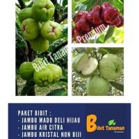 PAKET 3 BIBIT JAMBU MADU DELI HIJAU, JAMBU AIR CITRA & JAMBU KRISTAL