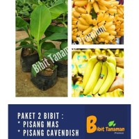 PAKET 2 BIBIT PISANG MAS/EMAS & PISANG CAVENDISH BIBIT TANAMAN PREMIUM