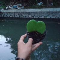 Tanaman Hias Sukulen Love Hoya Kerri Love leaf
