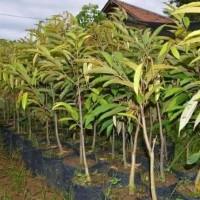 Bibit durian hitam