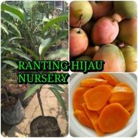 bibit buah mangga gedong gincu asli_bibit super_RHN
