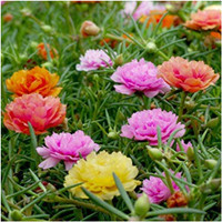 20 Biji-Benih Bunga Moss Rose Double Mix-Kebun Rumah