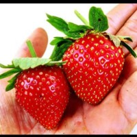 Biji Benih Buah Strawberry Besar