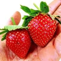 Bibit strawberry Jumbo Australia