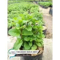 Tanaman Daun Peppermint - Herbal Daun Mint (bukan benih)
