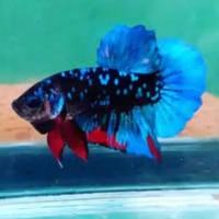 Jual Ikan Cupang Avatar Murah Murah Harga Terbaru 2020