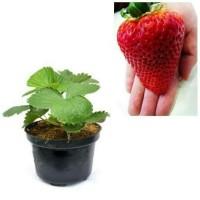 Bibit strawberry merah