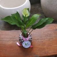 Tanaman hias di indoor KOKEDAMA Peace lily