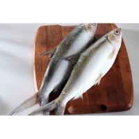 Harga Ikan Bandeng Katalog.or.id