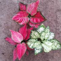 paket 3 jenis aglonema red anjamani,dut putih,dan dut anjamani