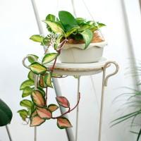 Hoya Carnosa Tricolor - Tanaman Juntai Awet dan Tahan Indoor Outdoor