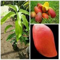 bibit tanaman buah mangga yuwen pohon mangga yuwen taiwan merah