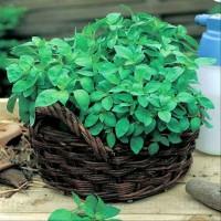 Biji Benih Sayur Kemangi Basil Herb 100 Biji