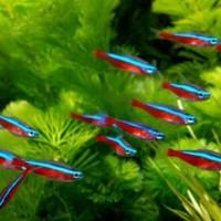 ikan hias Tetra cardinal