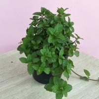 Bibit-Tanaman-herbal-daun-mint-Papermint-Mentha-×-piperita1