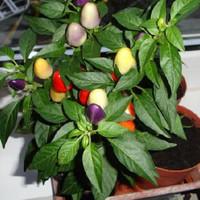 Benih pohon cabe seeds bolivian rainbow pepper/cabai warna warni + pot