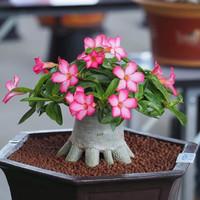 bibit tanaman bunga adenium bonggol besar bahan bonsai kamboja jepang