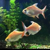 Ikan Hias Kaviat Kapiat Aquarium Aquascape Garansi
