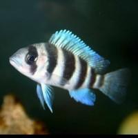 Ikan Hias Cichlid Frontosa Burundi Aquarium Aquascape Garansi