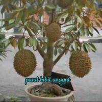 bibit buah durian Montong super dapat di tanam dalam pot -pbu