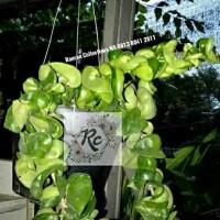 Tanaman Hias Gantung Bibit Sukulen HOYA COMPACTA Succulent Real Plant