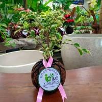 Tanaman hias indoor KOKEDAMA Beringin variegata ficus benjamina figs