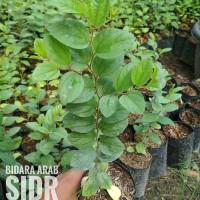 Bibit Pohon SIDR - Pohon Bidara