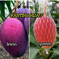 bibit buah mangga yuwen & irwin