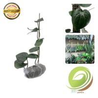 bibit sirih hitam-tanaman pohon daun herbal