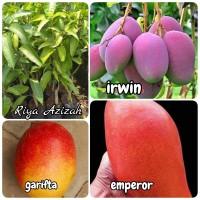 Paket 3 jenis bibit tanaman buah mangga irwin-emperor-garifta