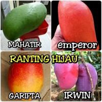 paket 4 jenis bibit buah mangga mahatir-garifta-irwin-emperor-bibit