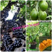 paket 3 bibit buah anggur brazil-mangga chokanan-alpukat miki super
