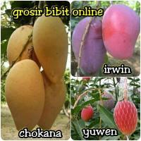 paket 3 bibit buah mangga import chokanan-irwin-yuwen-grosir bibit