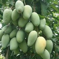 Bibit Buah Mangga Chokanan super mangga chokanan
