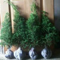 bibit pohon cemara udang(she oak) bahan bonsai 65 cm