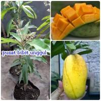 bibit buah mangga chokanan berbunga kwalitas super