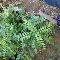 I5B Restock* Bibit Tanaman Daun Kari 50-60Cm #_#