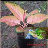 aglonema kochin hybrid bonus heng heng