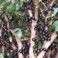 Bibit Tanaman Anggur Batang   Brazil   Caboticaba Kualitas Unggul