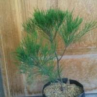$Diskon$ Diskon Bibit Pohon Cemara Udang Bahan Bonsai Berkwalitas