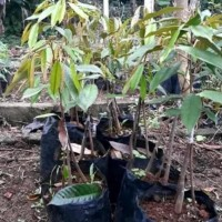 "R"" A1 Bibit Tanaman Buah Duren Musangking Kaki 3/Pohon Durian"