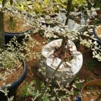 V1C Diskon 3 Bibit Pohon Ketapang Kencana Daun Putih Varigata Unggulan