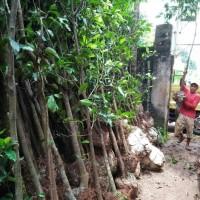 Anjai Diskon Bibit Pohon Bunga Tanjung 50 Cm Murah