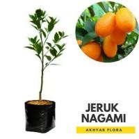 Bibit Jeruk Nagami Okulasi Pohon Jeruk Buah Jeruk Nagami