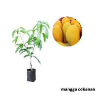 Bibit Buah Mangga Chokanan