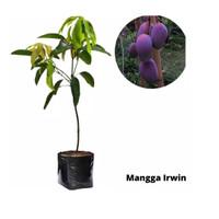Bibit Buah Mangga Irwin