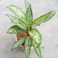 tanaman hias aglonema Srirejeki - serirejeki - blaceng susu